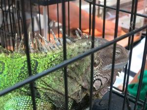 Sleeeeepy iguana!