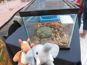 African bullfrog! He's bigger than us!