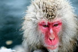 japanese macaque2