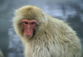 japanese macaque3