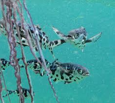 man o war fish