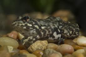 mountain marsupial frog