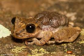 mountain marsupial frog2