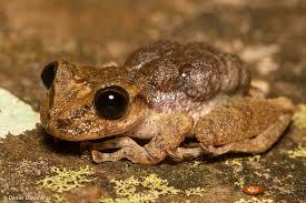 mountain marsupial frog2