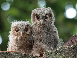 sunda scops owl2