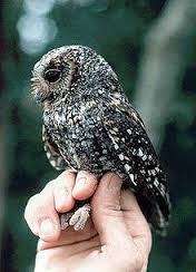 sunda scops owl3