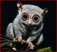 western tarsier