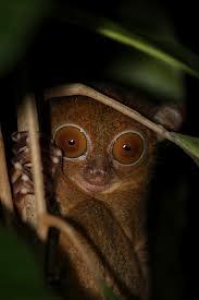 western tarsier2