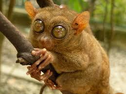 western tarsier3