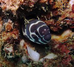 zebra moray2