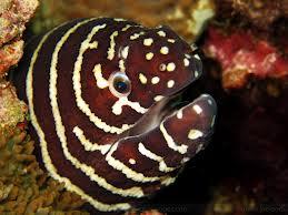 zebra moray3