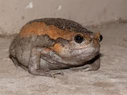 b rain frog2