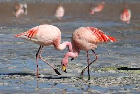 puna flamingo3