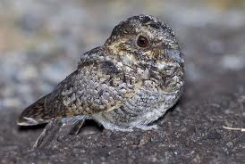 common poorwill2