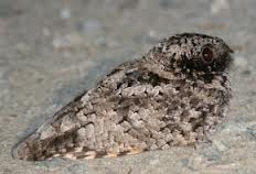 common poorwill3