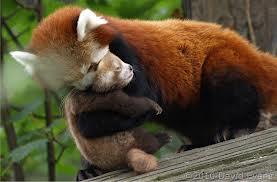 red panda2