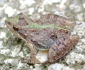 southern criket frog