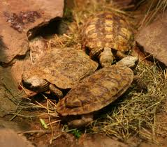 pancake tortoise2