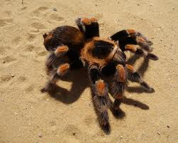 red kneed tarantula
