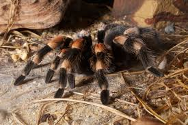 red kneed tarantula2