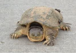 common snapping turtle3