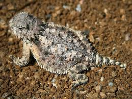desert horned lizard2