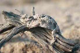desert horned lizard3