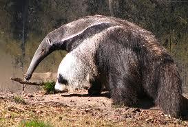 giant anteater2