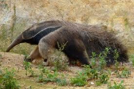 giant anteater3