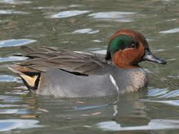 green winged teal2