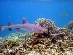 whitetip reef sharks2