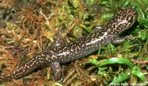 pacific giant salamander3