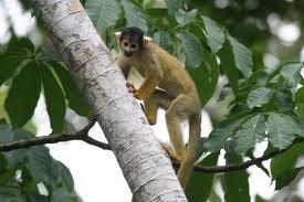 bolivian squirrel monkey2