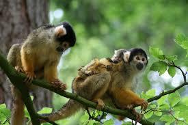 bolivian squirrel monkey3
