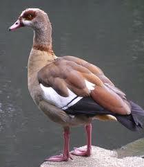 egyptian goose3