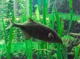 elephantnose fish3