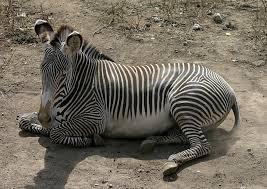 grevy's zebra2