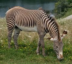 grevy's zebra3