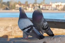 pigeons3