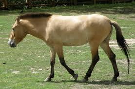 prwelski's horse