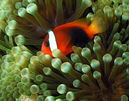 tomato clownfish2