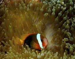 tomato clownfish3