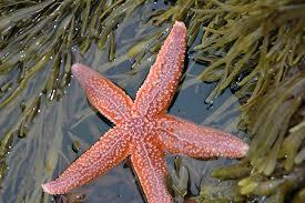sea star4