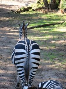 Zebra bum!