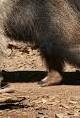 anteater (2)