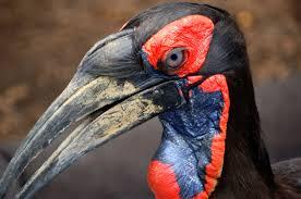 ground hornbill3