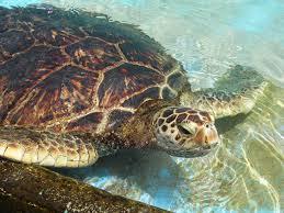 sea turtle4