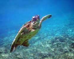 sea turtle5