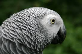 african grey parrot2