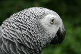 african grey parrot2